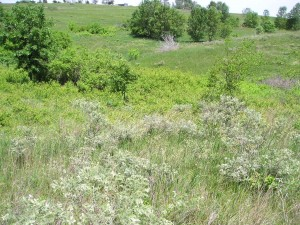 View of plum thicket (bright green) encroaching into leadplant