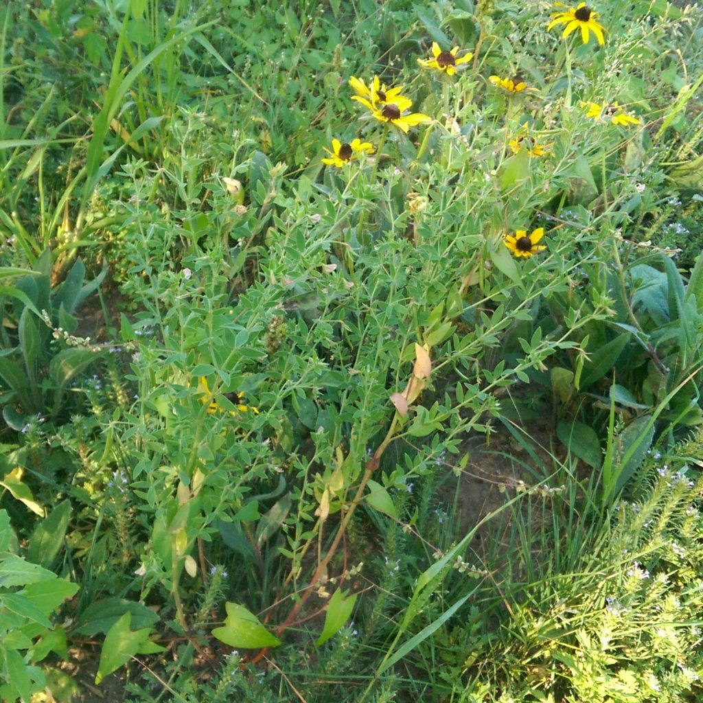 picture of deervetch and black-eyed Susan in seed plot